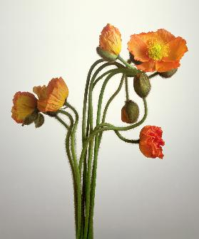 Bendy Poppies, 1995 (colour photo)