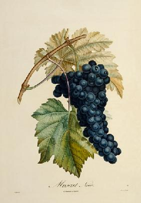 Blue grape Muscat Noir