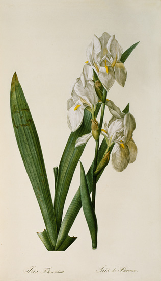 Pierre Joseph Redouté - Iris Florentina, from `Les Liliacees