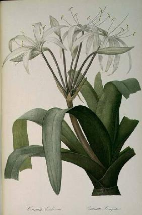 Crinum Erubescens or Crinum Rougeatre, from `Les Liliacees'