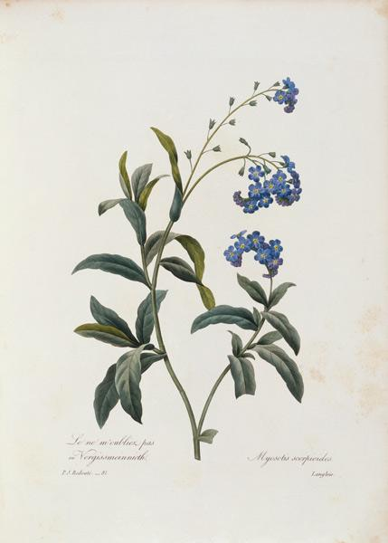 Forget-me-not / Redouté