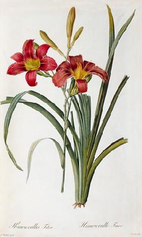 Hemerocallis fulva, from `Les Liliacees'