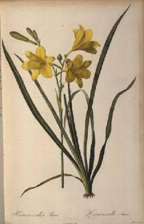 Hemerocallis Flava, from `Les Liliacees'