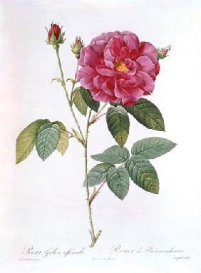The rose Rosa Gallica Officinalis.