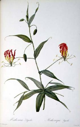 Methonica Superba, from `Les Liliacees'