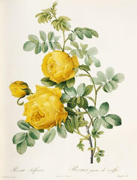 Rosa sulfurea / Egraving after Redoute