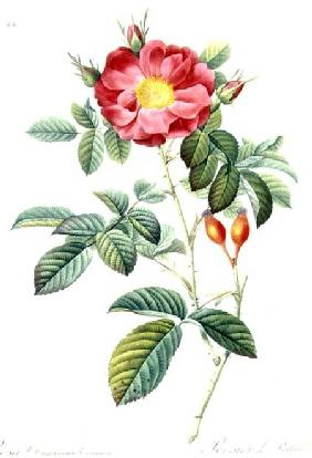 Rosa Damascena, from 'Les Roses'