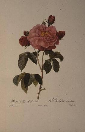 Rosa Gallica Aurelianensis or the Duchess of Orleans from, 'Les Roses'