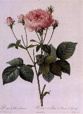 Rosa Gallica Granatus, from 'Les Roses', vol II