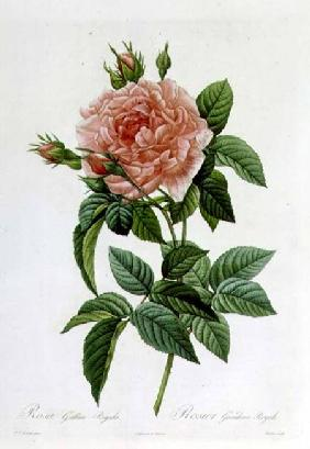 Rosa Gallica Regallis