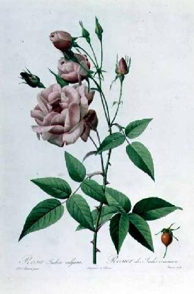 Rosa Indica Vulgaris, engraved by Bessin, from 'Les Roses', Vol II