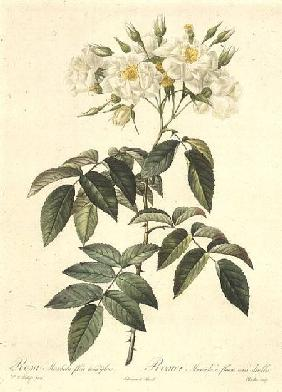 Rosa Moschata Flora Semi-Pleno