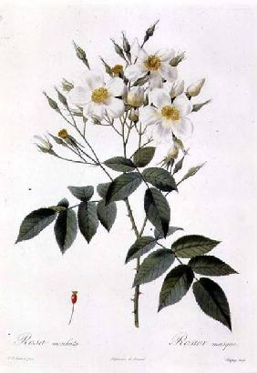 Rosa moschata or Musk Rose