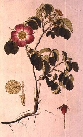 Rosa Pumila, from 'Les Roses' Vol II