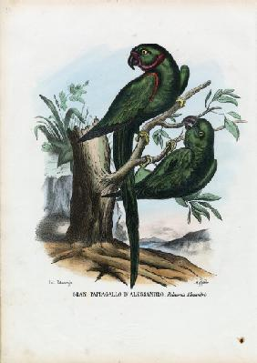 Rose-Ringed Parekeet