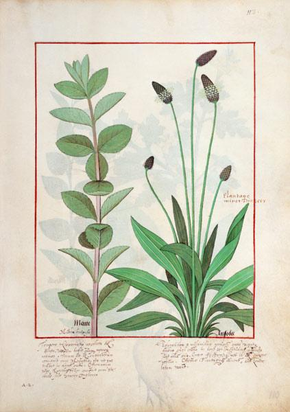 Ms Fr. Fv VI #1 fol.113 Mint and Plantain, or Ribwort