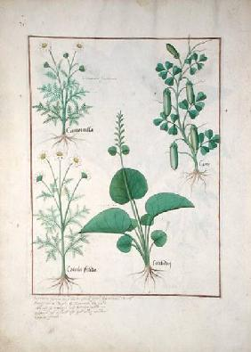 Chamomile (top left) and Cucumber (right) Illustration from 'The Book of Simple Medicines' by Matthe