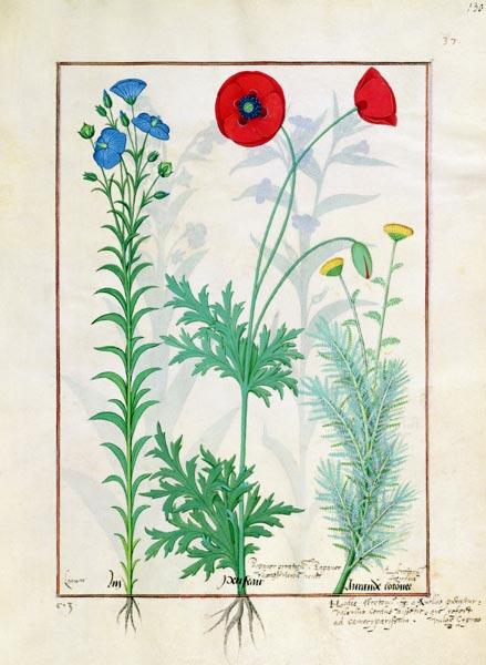 Ms Fr. Fv VI #1 fol.130r Linum, Garden poppies and Abrotanum, illustration from 'The Book of Simple