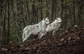 Meeting with white Wolves