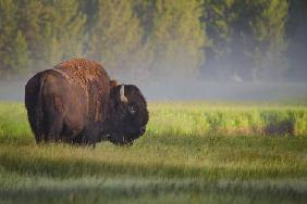 Bison in Morning Light