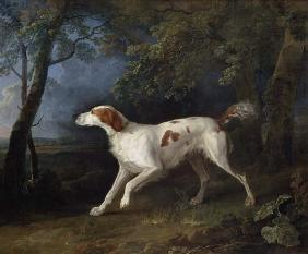 Brown white setter in woodland landscape.