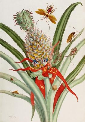 Pineapple (Ananas) With Surinam Insects