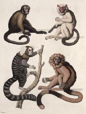 Monkeys (colour litho)