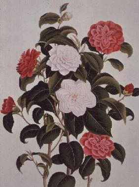 "Camellia Japonica, from ""A Monograph on the Genus of the Camellia"""
